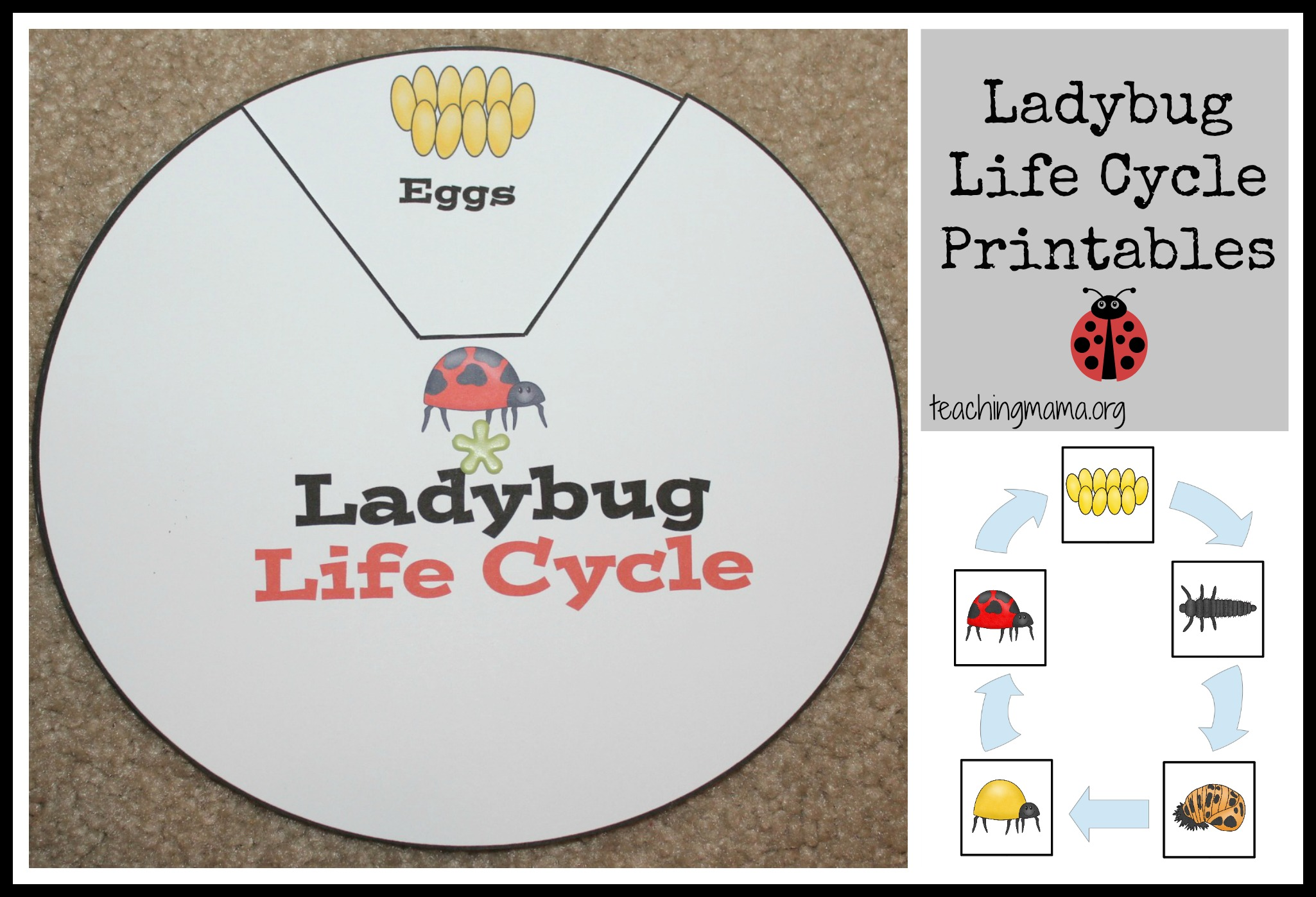 Life cycle printables activities ladybug life cycle printables activities pooptronica Gallery