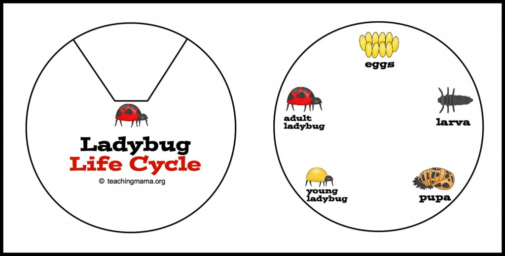 ladybug life cycle printables activities